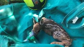 Rescued Roe deer kid