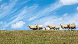 çayırda koyunlar