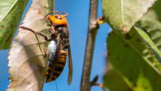Asian giant hornets are not native to the Pacific North-West and kill honeybees