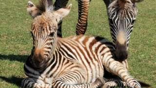 Hope the zebra