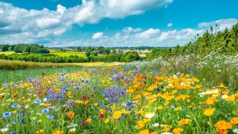 Field of flowers in Derbyshire