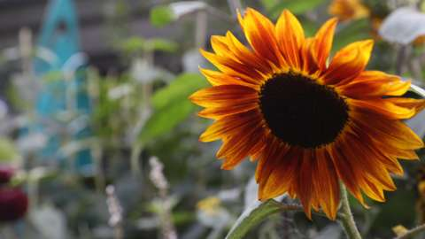 A beautiful sunflower at the Chelsea Flower Show
