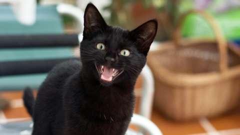 Black kitten sitting on cushion meowing