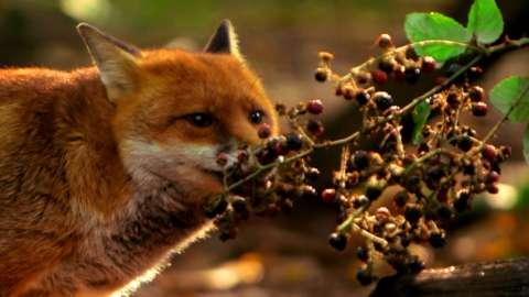 Fox on Autumnwatch