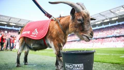 Cologne mascot, Hennes VIII - a goat.