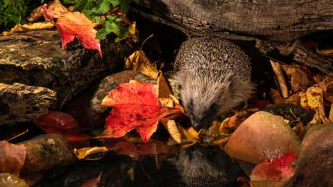 A hedgehog in Autumn