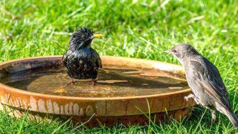 Two birds take a bath in a large saucer of water on the grass