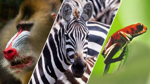 A mandrill baboon, zebra and poison dart frog.