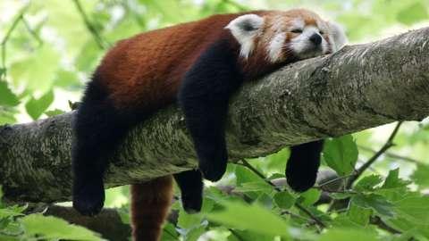 Red panda relaxing on branch