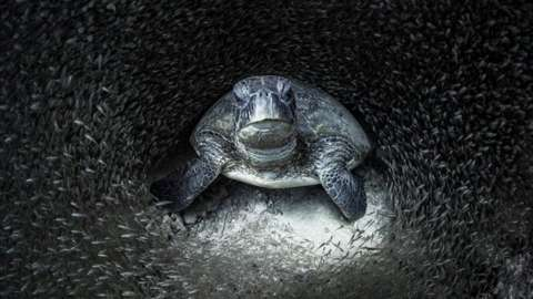 Green turtle surrounded by glass fish off the West Coast of Australia