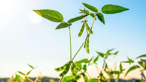 A soya plant