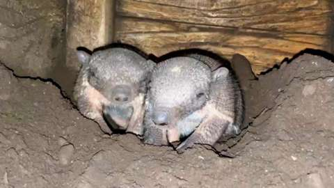 Baby armadillo twins