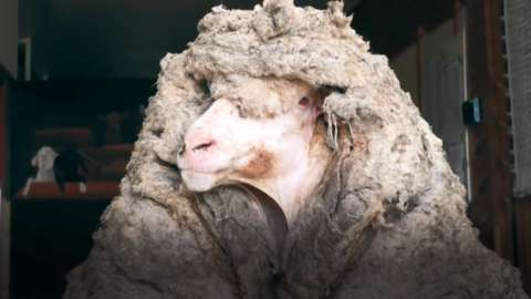 The sheep with a 35kg (77lb) coat of wool