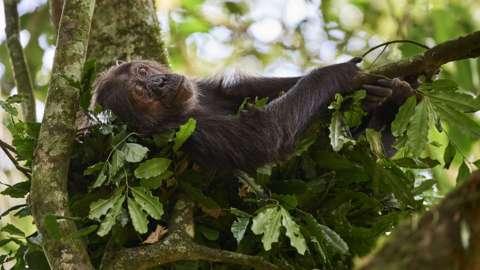 Great ape in a tree