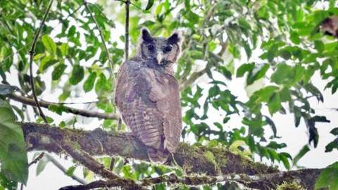 Shelley's Eagle Owl
