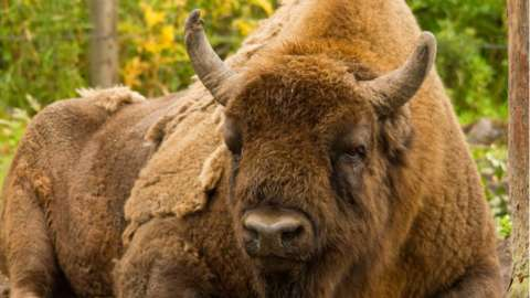 Bison in Kent