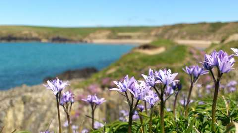 Sea squill Scilla verna