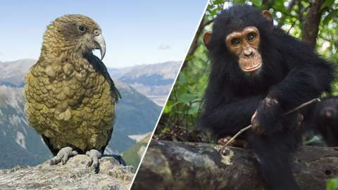 A Kea bird and a chimpanzee