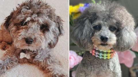 A 'before and after' haircut shot of a dog