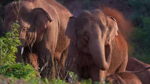 Wild Asian elephants forage and play in Yimen county of Yuxi, Yunnan province