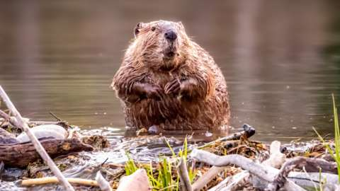 Beaver standing in water