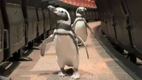 Penguins walk around a cinema