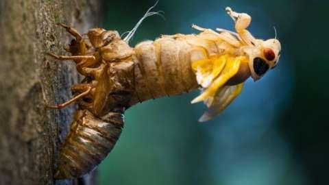 After 17 years of hibernating underground, billions of Brood X cicadas have emerged on the east coast of America