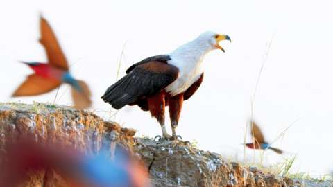 An African fish eagle hunting