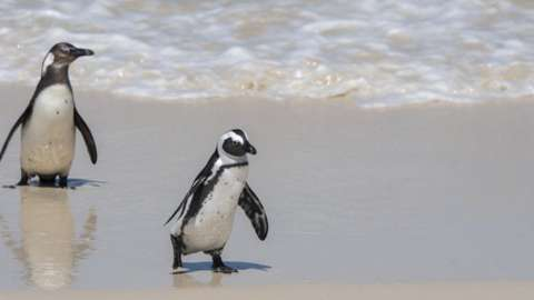 African penguins (Spheniscus demersus) on the beach at Boulder Beach, Simons Town near Cape Town, South Africa.