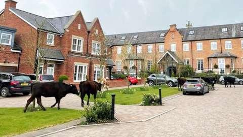 Cattle seen grazing in Beverley gardens