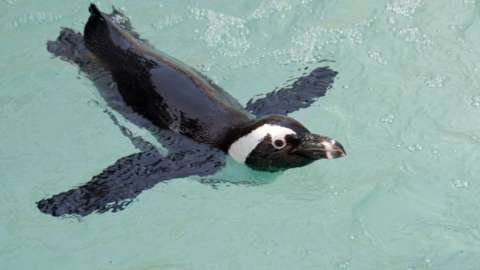 An African penguin swimming.
