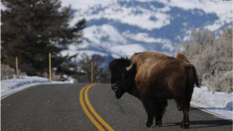 A bison crosses the road in Yellowstone National Park in Wyoming