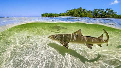 Lemon sharks swim in the shallow waters by the mangrove forests of Bimini, Bahamas
