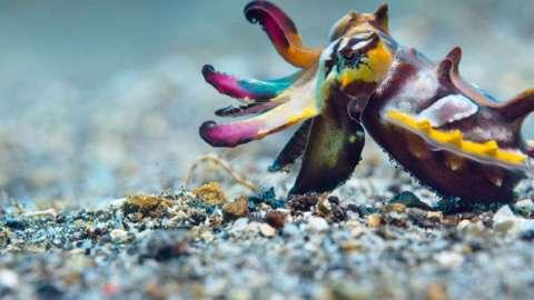 A flamboyant cuttlefish