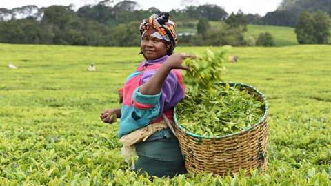 Woman picking tea in kenya