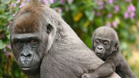 A gorilla parent with her young