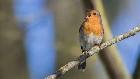 Robin sat on a branch