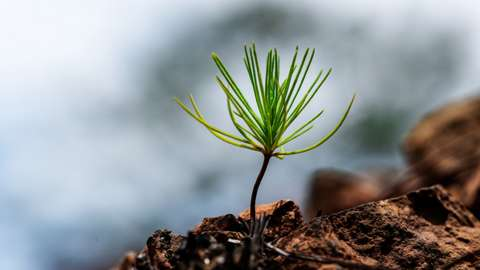 Pine sapling
