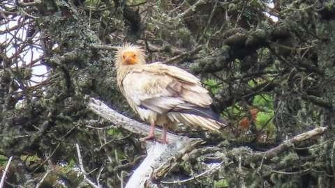 Egyptian vulture in Tresco
