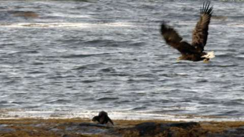Eagle chasing an otter for his catch
