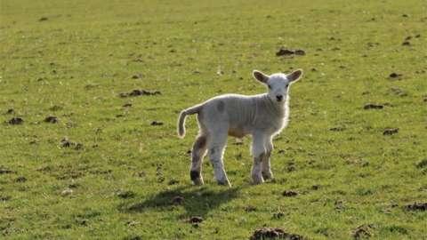 Lamb from Lambing Live