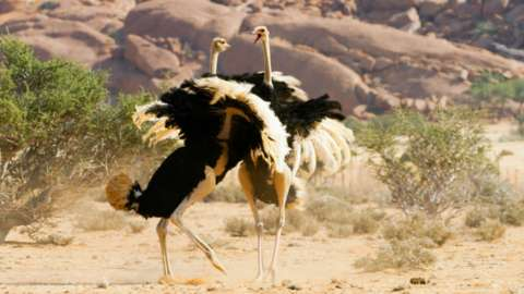 Male ostriches fight for the right to court the females in the herd