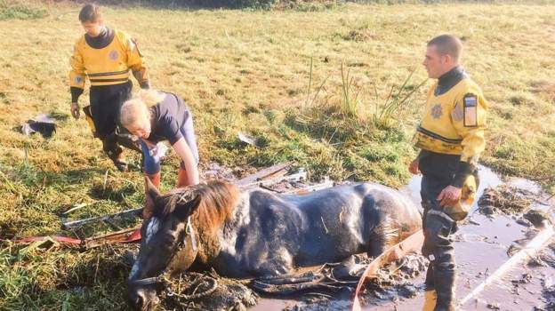 Shire horse stuck in the mud