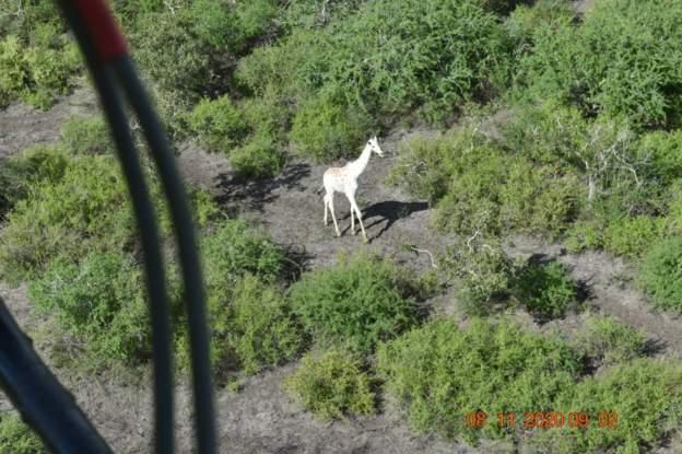 A male white giraffe