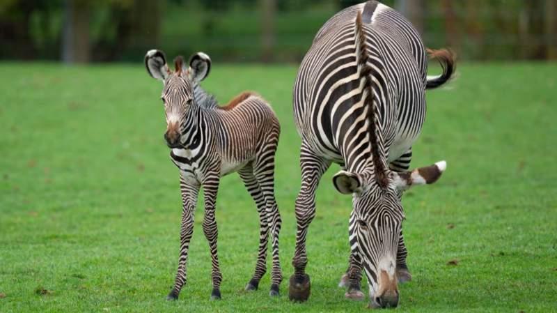 Рождение новой зебры Греви