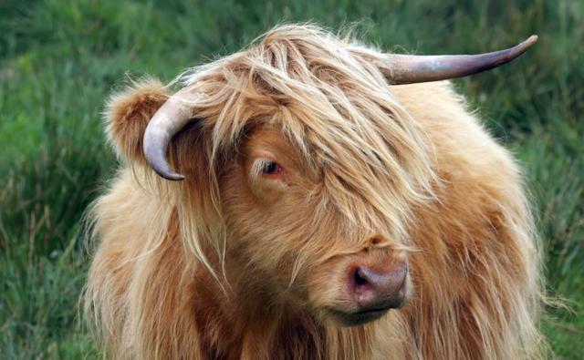 image d'un aurochs