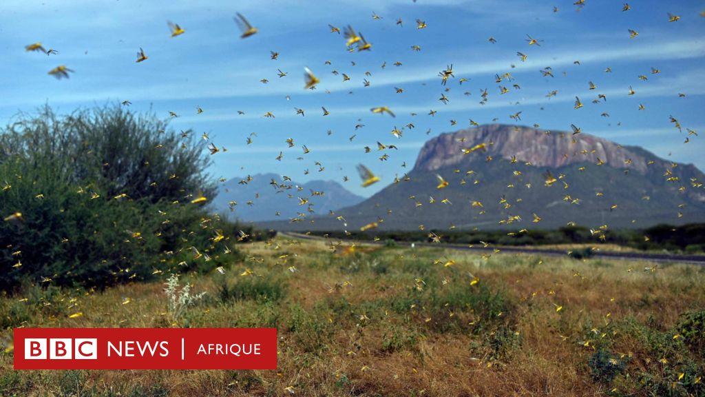 Invasion acridienne: comment un seul criquet devient un essaim