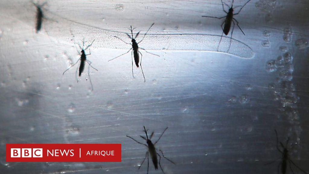 Des moustiques génétiquement modifiés pour lutter contre le paludisme