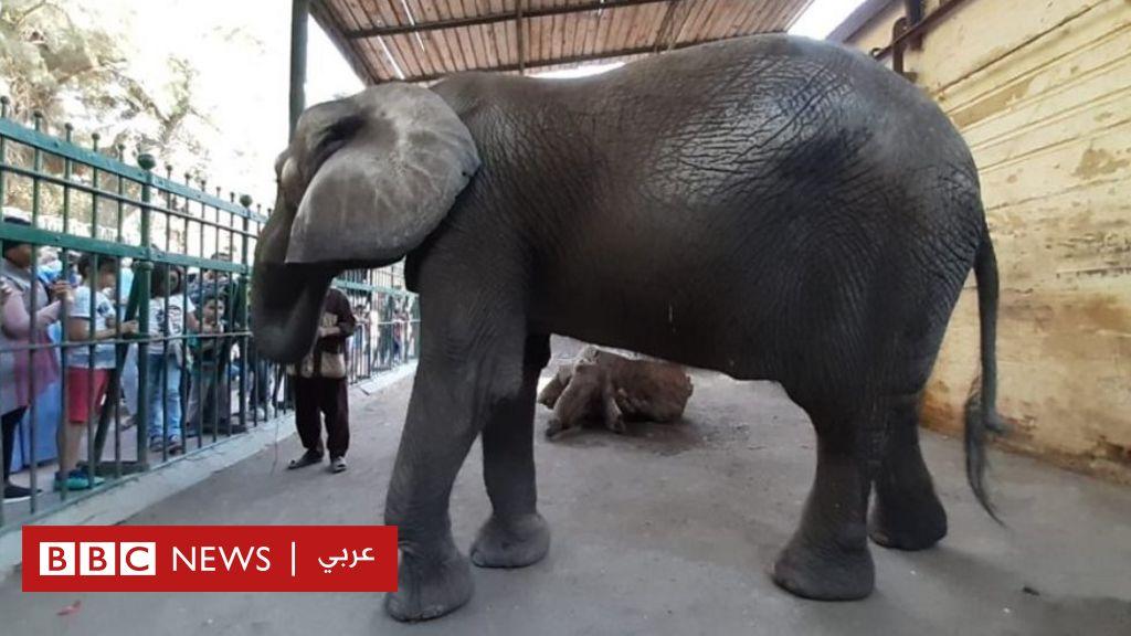 الفيلة نعيمة: نفوق آخر أفيال حديقة حيوانات الجيزة في مصر