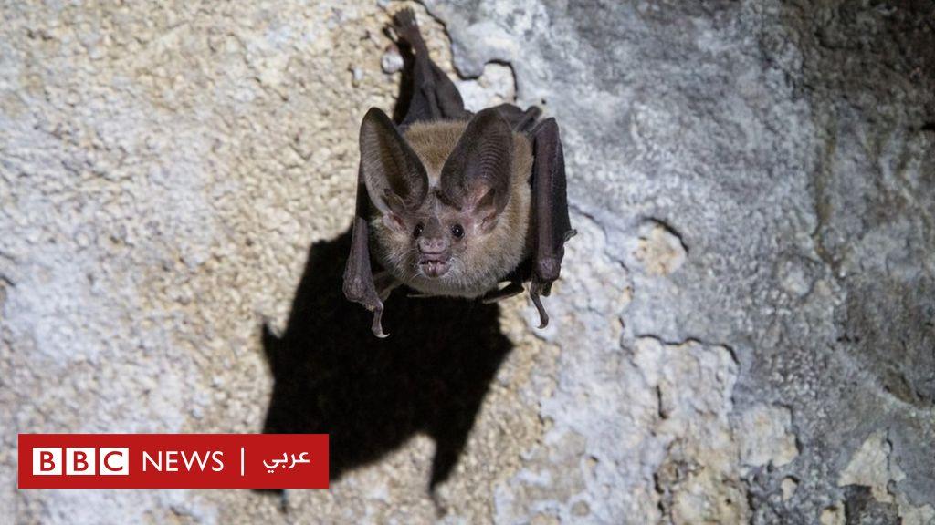 """الخفافيش أيضا """"تتباعد اجتماعيا"""" عندما تشعر بالمرض - BBC News عربي"""